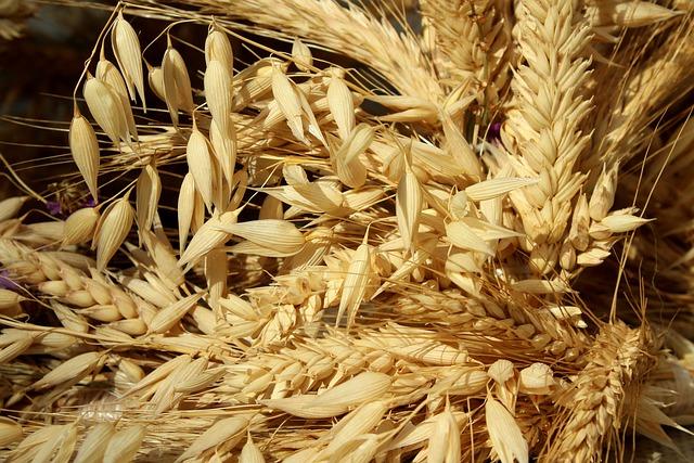 Jakým způsobem využít pšenici na klíčení