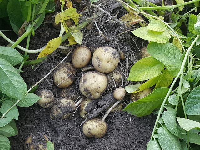 sklizeň menších brambor